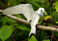 Seychelles – Fairy Tern with fishes