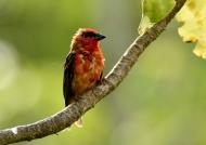 Madagascar Fody – male