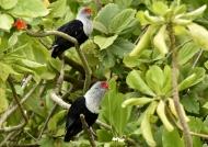 Blue Pigeon couple
