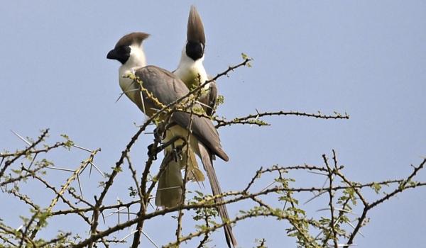 Bare-faced Go-away-birds