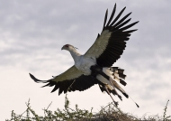 Tanzania Ndutu – Secretary Bird