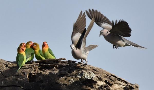 Lovebirds/ring-necked doves