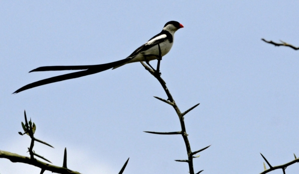 Pin-tailed Whydah – br male