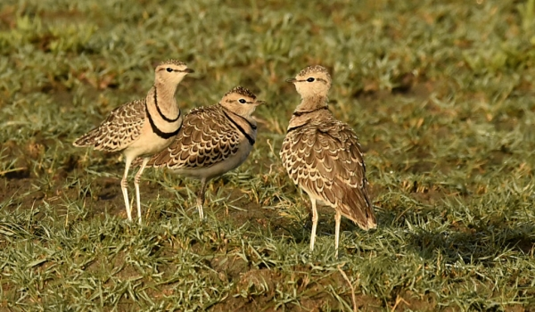 Two-banded Coursers
