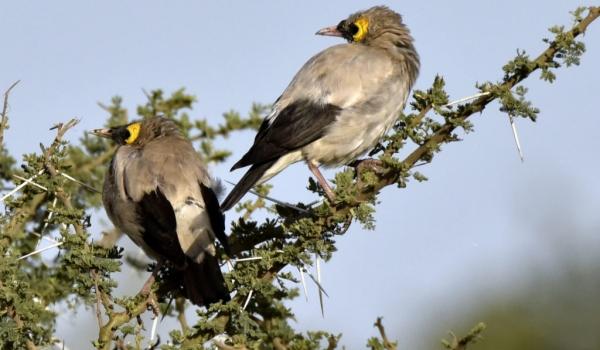 Wattled Starlings