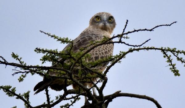 Black-chested Snake Eagle-juv