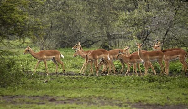a herd of impalas