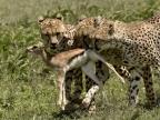 Cheetahs hunting