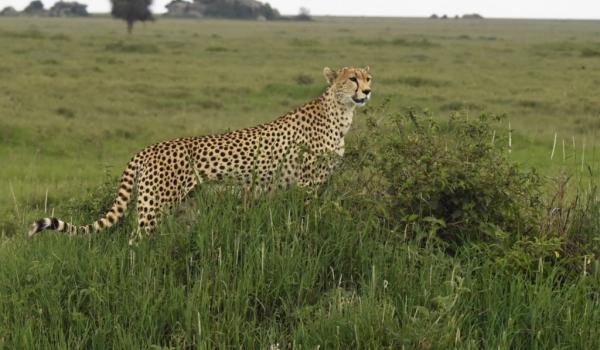 Cheetah f. in Ndutu Plains