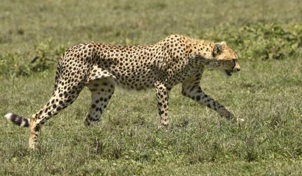 Mum Cheetah is coming