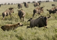 Hyenas can run up to 60km/h