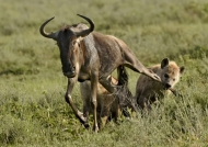 One catch the leg of the gnu