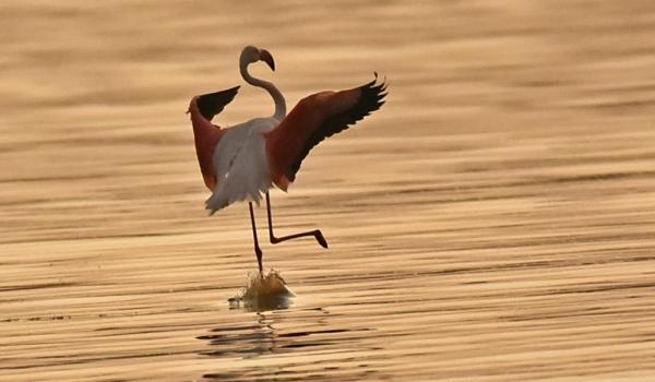 Greater Flamingo dancing