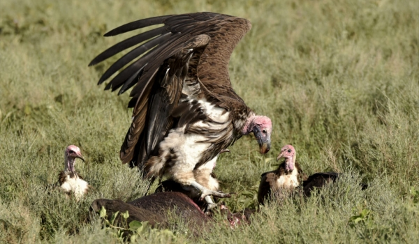 Lappet & Hooded Vultures