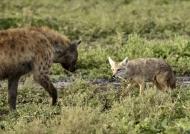 Hyena facing Golden Jackal
