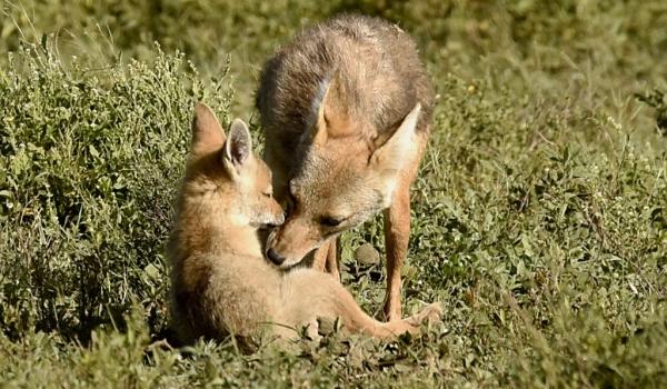 Adult grooming pup