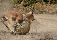 to strangle the Impala,