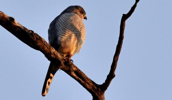 Little Sparrowhawk – adult