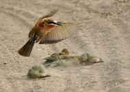 White-fronted Bee-eaters…