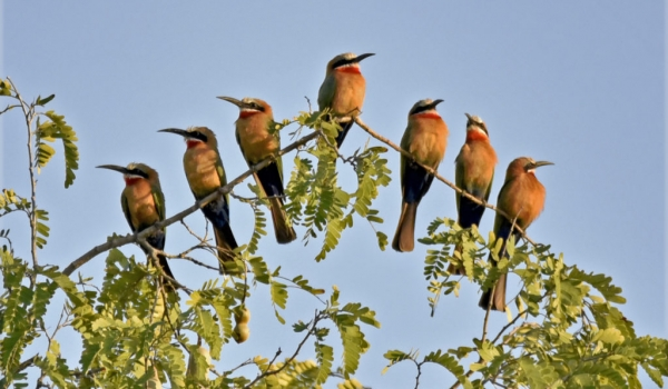 Wht-fronted Bee-eater