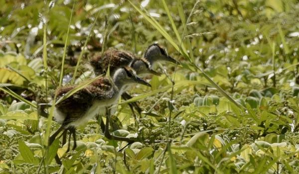 African Jacana chicks