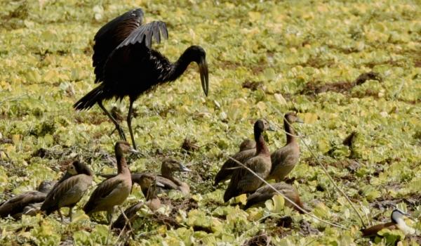 African Openbill & W. F. Ducks
