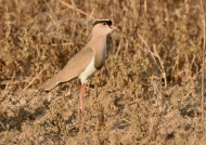 Crowned Lapwing – adult