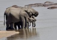 Elephants thirsty