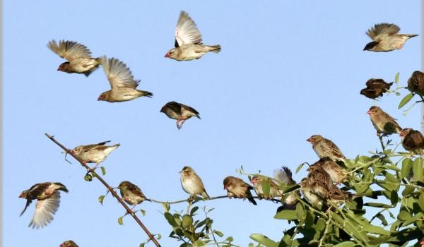 Flock of Red-billed Queleas