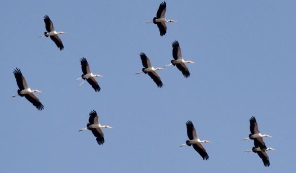 Y-b Storks – flock in flight