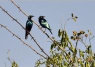 Greater Blue-eared Starlings