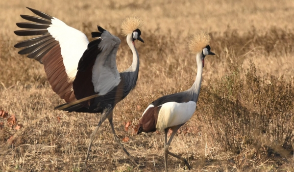 Grey Crowned Cranes juv. ….