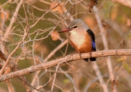 Grey-headed is a migrant