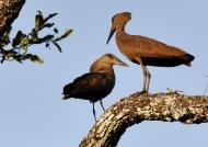 Hamerkop courtship