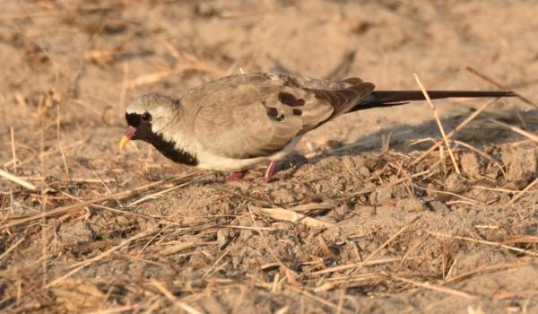Namaqua Dove – male