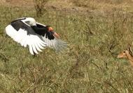 Saddle-billed Stork f. landing