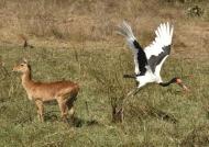 Saddle-billed Stork f. leaving