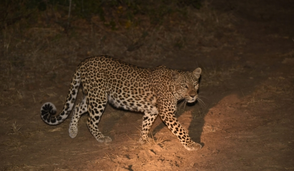 a Leopardess is hunting