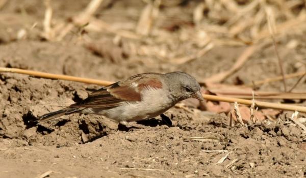 southern grey-headed sparrow