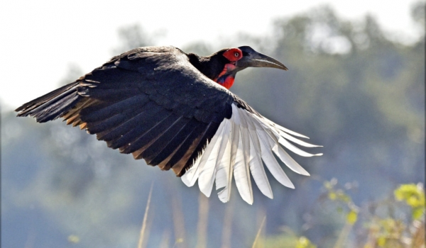 Southern Ground Hornbill – f.