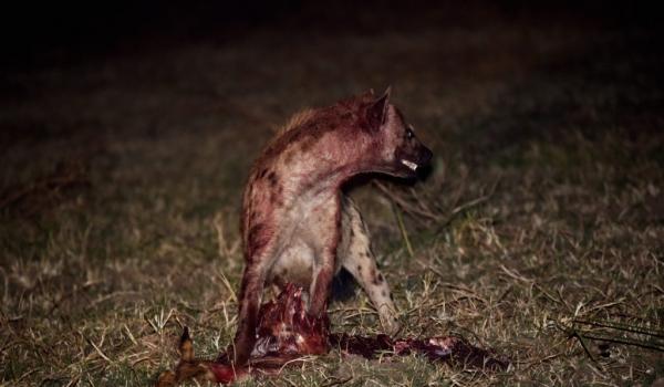 Hyena stealing one leg…