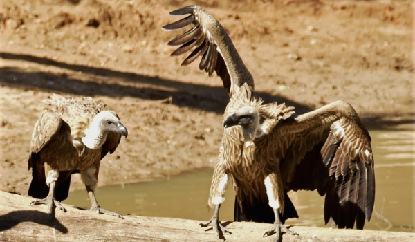 White-backed Vultures…