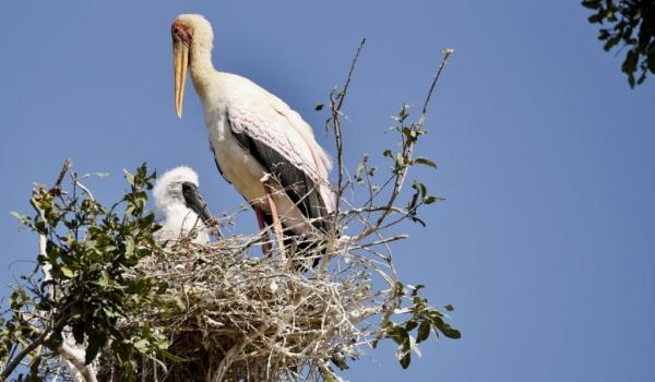 Yellow-billed Stork & chick