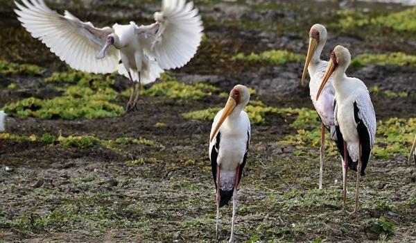 African Spoonbill landing