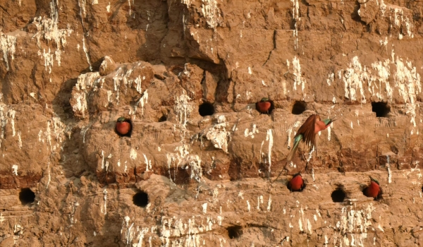 They nest in burrows…