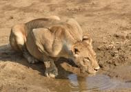 Female Lion drinking water