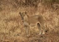 Female Lion at sunset