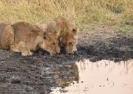 Female Lion cubs…