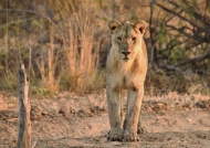 Lion f. cub waiting for sunset