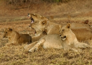 Lionesses – social behavior